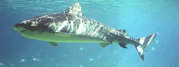 Bull Shark Carcharhinus leucas (Valenciennes, 1839) in Captivity