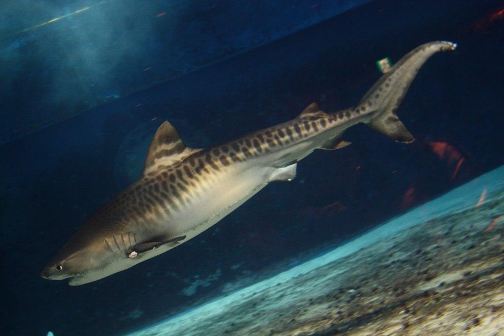 Tiger Shark Facts & Worksheets