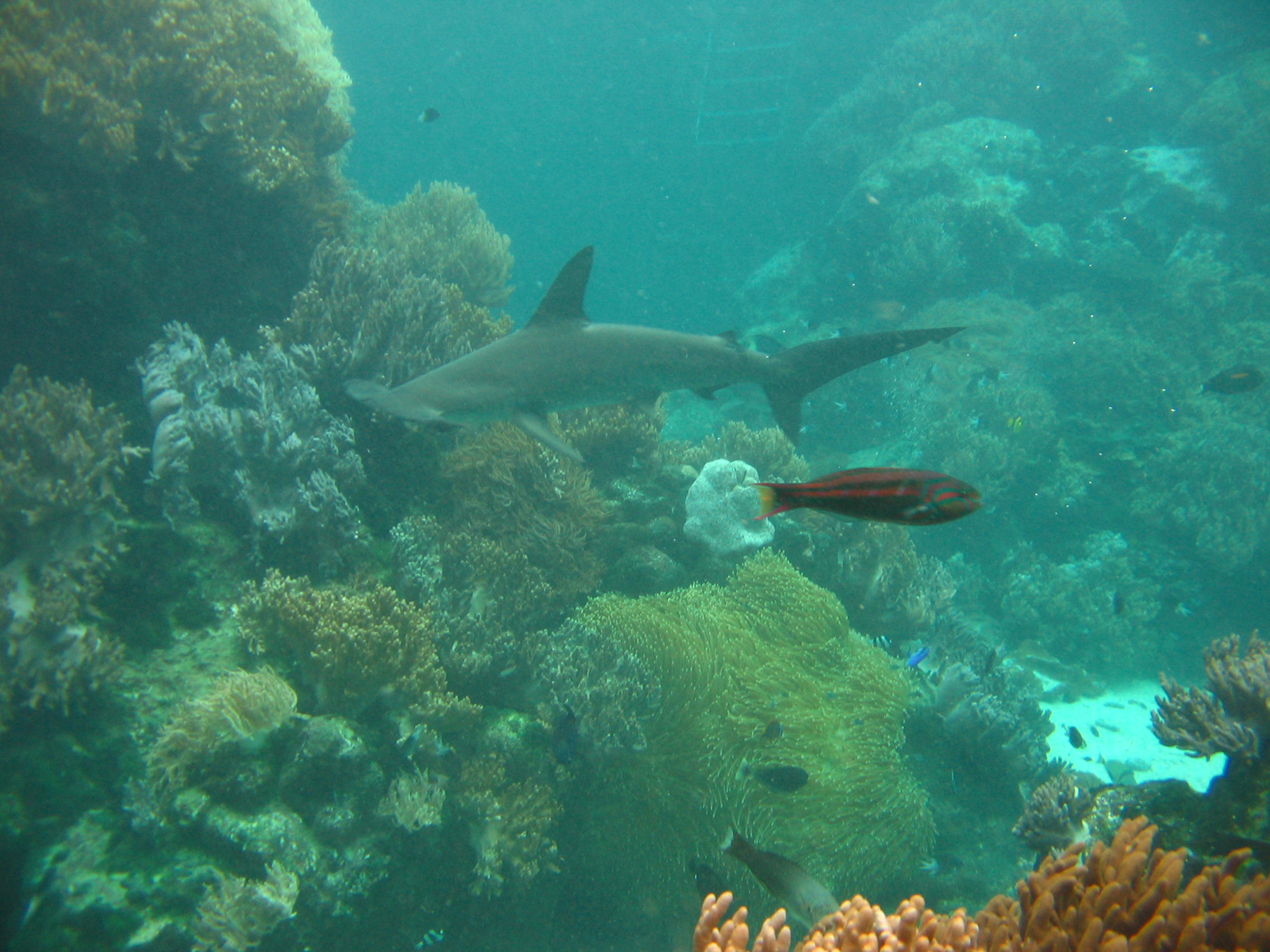 Scalloped Hammerhead, Sphyrna lewini (Griffith & Smith) in ...